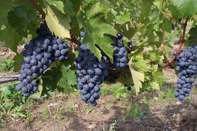 grapes_550154398350724197
